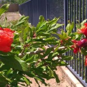 Pomegranates budding - Avadian photo