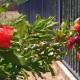 Pomegranates budding - Avadian photo