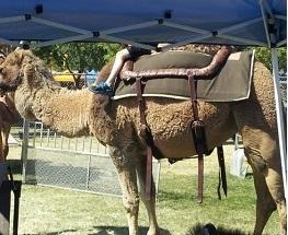 STUFF-Camel