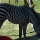 STUFF-Zebra